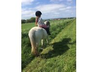 Registered welsh section A grey mare