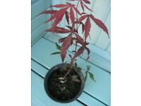 Acer / Japanese Maple and 7 Additional Plants All for £10 Weymouth