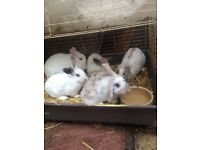 Baby rabbits for sale