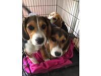 Beagle x kelpie puppies for sale