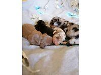 Beautifull miniature dachshund puppies