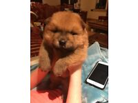 KC Healthy Pure Chow Chow Puppies