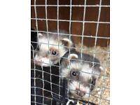 ⭐️ferrets for sale⭐️