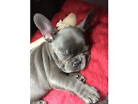 ONLY 2 BITCHES LEFT TOP QUALITY SOLID BLUE FRENCH BULL DOG PUPPIES