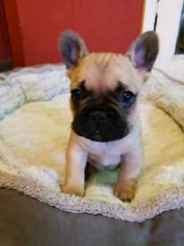 FULLY VACCINATED ADORABLE KC REGISTERED FRENCH BULLDOG PUPPY