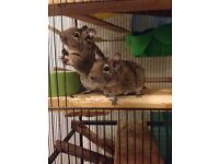Two VERY TAME female degus, FREE TO A GOOD HOME