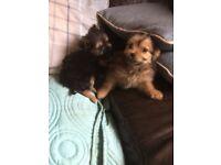 Yorkie x Chihuahua puppies