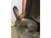 German Giant Rabbits for sale