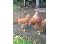 3 chickjngs Laying hens free to collector