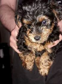 Yorkiepoo(Yorkshire terrier/toy poodle)