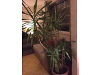 Superb Yucca for sale (regrettably) - £80