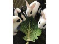 Beautiful unique baby rabbits Netherland dwarf x English spot