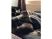 Two lovely Kittens in need of a loving home