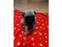 Full pedigree KC registered Pug puppies . Fawn and Black