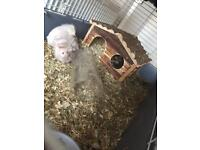2 Female Guinea Pigs for £50 + Cage + house