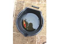 Pond Goldfish fish