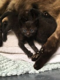 One female Half tonkinese kittens for sale
