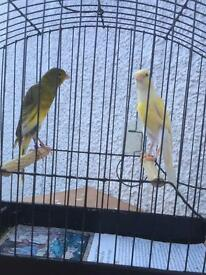 Scotch-fancy Canary for sale