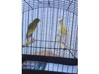 Scotch-fancy Canary for sale