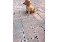 Beautiful Toy Fox red cockapoo puppies ready now