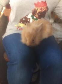 Lop ear baby rabbits