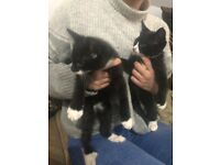 Two beautiful male kittens for sale both boys 9 weeks old stunning kitten black and white