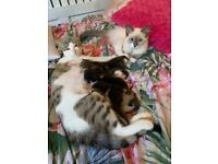Ragdoll Maine coon mix with moggy kittens