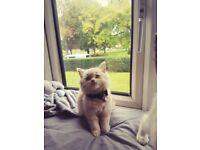 Cream BSH Variant Kitten for Sale