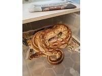 Female Lesser Pastel royal python