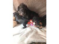 Cavapoo x dachshund puppies