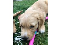 golden retriever puppy 1 left seen with parents