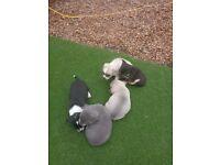 £2000 blue and tan girl Chihuahua lilac and tan girl Chihuahua and three boys