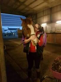 16hh Irish sports horse for share