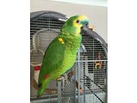 English Bred Blue Fronted Amazon Parrot with cage and accessories