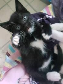 9 week old kitten (male)
