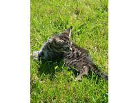 Kitten 8 weeks