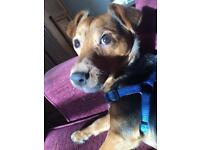 Jack Russell terrier needs to be rehomed