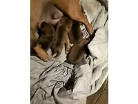 4 beautiful jack russell cross puppies for sale