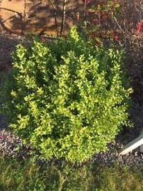 Topiary Buxus Ball Large