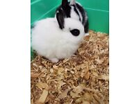 Netherland dwarf baby girl only 1 left