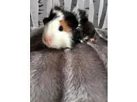 4 Guinea Pig Babies