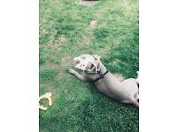 Old tyme bulldog (girl)