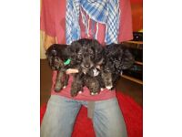 Jackdoodle puppies for sale