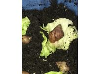 4 month old Giant African Land Snails