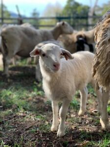 lambs for sale in Melbourne Region, VIC | Livestock
