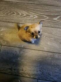 Stunning chihuahua babies for sale