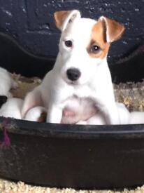 Parson Jackrussell Puppies FOXWARREN lines (only females left)