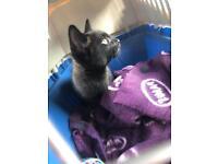 Lost kitten 13 weeks