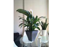 Peace lily - Spathiphyllum Chopin (70cm Approximately) – House plant