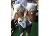 Two lovey white Persian kittens for sale